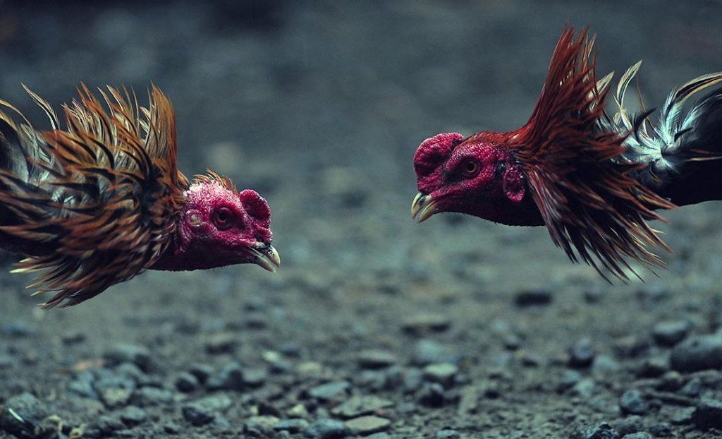 Tipe Sabung Ayam Bangkok di Lihat Patuh Tipe Warna Bulu